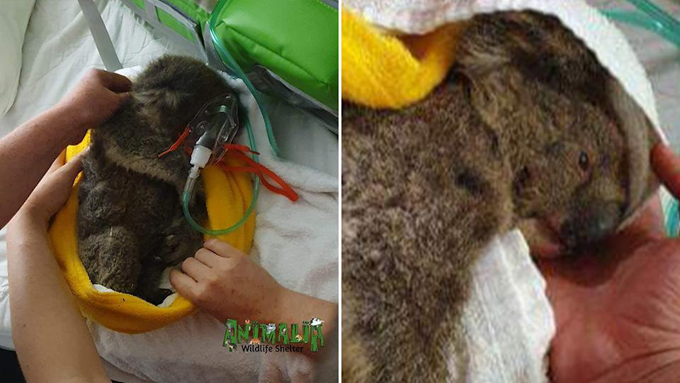 Arnie the koala survived the bushfires, but died later after he was fed water the wrong way. Source: Supplied/Animalia Wildlife Shelter