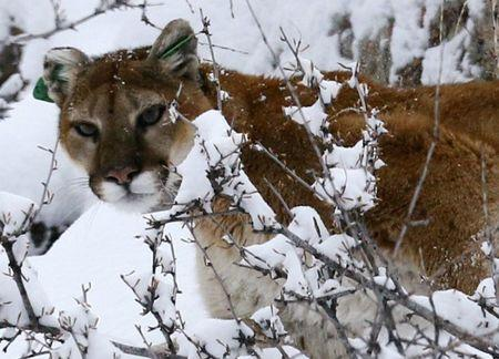 A mountain lion makes its way through fresh snow in the foothills outside of Golden