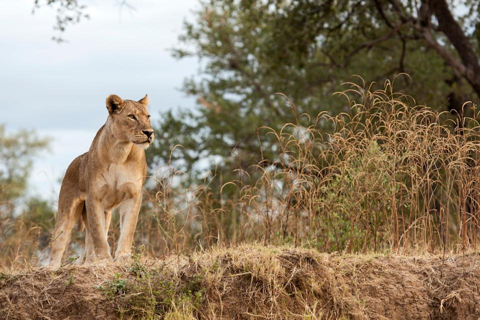 A lioness in South Luangwa National Park - getty