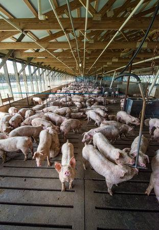 Pigs are seen at a Smithfield Foods, the world's largest pork producer farm in the United States in this image released on April 11, 2017.   Courtesy Smithfield Foods/Handout via REUTERS