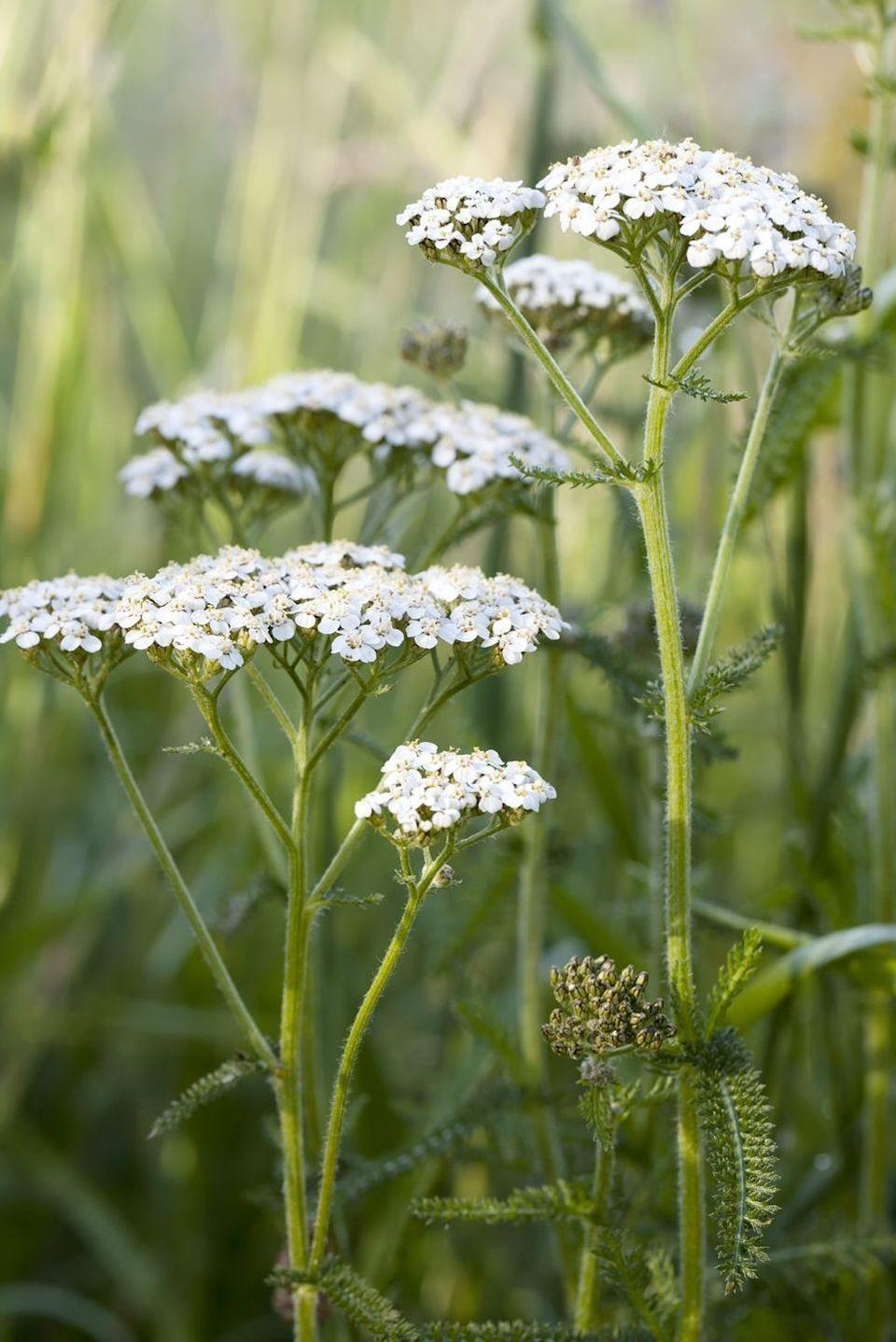 <p>Another quirky bloom with a traditional message that might surprise you: Yarrow symbolizes love. While the weedy look of this one might not look perfectly suited for a formal bouquet, remember the symbol next time your kid picks you some wildflowers. </p>