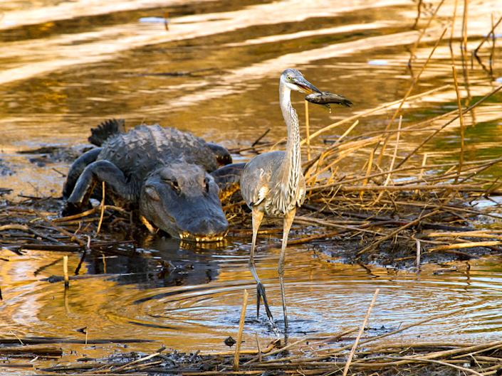 """This picture was taken on Paynes Prairie Preserve near Gainesville, Florida. The great blue heron, absorbed in trying to swallow the fish, wasn't the least bit concerned about the lurking alligator. Finally after downing the fish, the heron moved on to a safer place. (Photo and caption Courtesy Frederick Ross / National Geographic Your Shot) <br> <br> <a href=""""http://ngm.nationalgeographic.com/your-shot/weekly-wrapper"""" rel=""""nofollow noopener"""" target=""""_blank"""" data-ylk=""""slk:Click here"""" class=""""link rapid-noclick-resp"""">Click here</a> for more photos from National Geographic Your Shot."""
