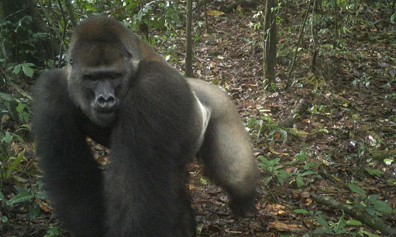 An adult male in the Mbe mountains