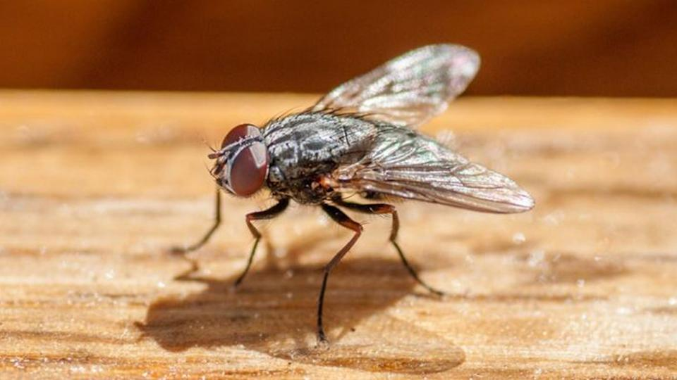 a common house fly