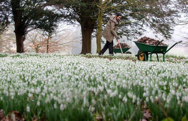 Senior gardener Andrea Topalovic Arthan clears a path around the first snowdrops of the season at English Heritage's Audley End House and Gardens in Saffron Walden