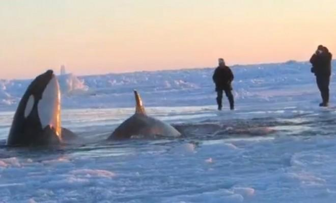 The race to save a pod of killer whales trapped in ice