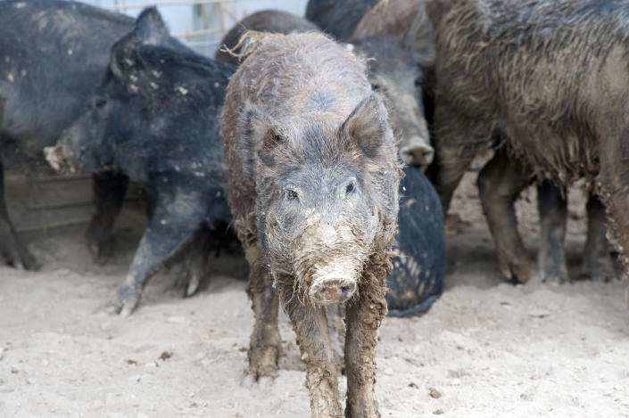 This undated photo provided by the U.S. Department of Agriculture Wildlife Services shows a group of trapped feral pigs. The agency has teamed up with the state of New Mexico and others as part of a $1 million pilot project to eradicate the pigs from the state. Nationally, federal officials say the feral pig population has ballooned to an estimated 5 million. (AP Photo/Courtesy of the U.S. Department of Agriculture Wildlife Services)