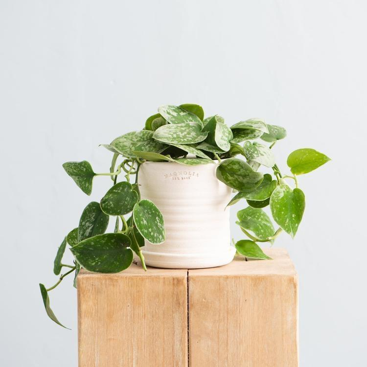 """<p>You can't go wrong giving Mom the <a href=""""https://www.popsugar.com/buy/Live-Silvery-Ann-Pothos-568820?p_name=Live%20Silvery%20Ann%20Pothos&retailer=shop.magnolia.com&pid=568820&price=30&evar1=casa%3Aus&evar9=46127505&evar98=https%3A%2F%2Fwww.popsugar.com%2Fhome%2Fphoto-gallery%2F46127505%2Fimage%2F47428960%2FLive-Silvery-Ann-Pothos&list1=shopping%2Cgift%20guide%2Cflowers%2Chouse%20plants%2Cplants%2Cmothers%20day%2Cgifts%20for%20women&prop13=api&pdata=1"""" class=""""link rapid-noclick-resp"""" rel=""""nofollow noopener"""" target=""""_blank"""" data-ylk=""""slk:Live Silvery Ann Pothos"""">Live Silvery Ann Pothos</a> ($30). It is so easy to maintain and can thrive almost anywhere.</p>"""