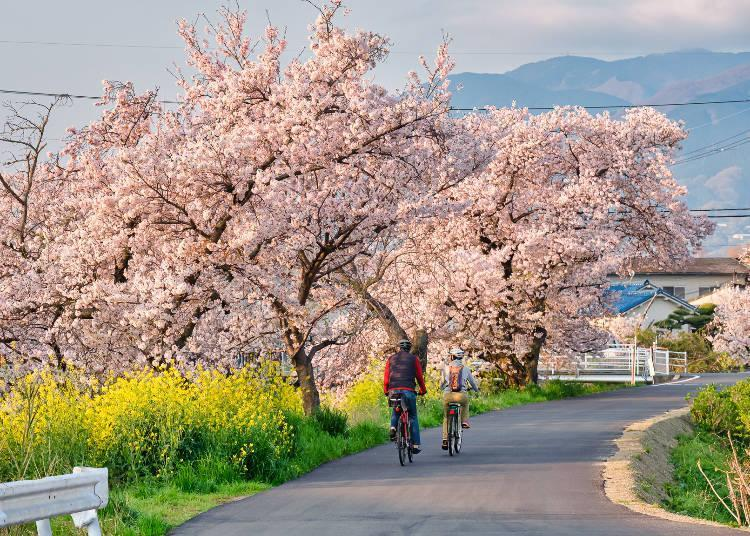 The number of cherry blossoms and the length of the row of trees are overwhelming! The branches are also wonderful!