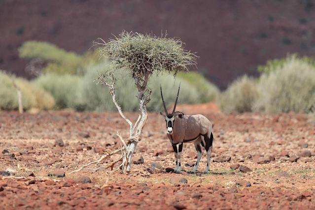 <p>An oryx finds a cool place in the shade as the temperature begins to soar well above 100 degrees on the rocky red terrain of Palmwag. The oryx is the national animal of Namibia. (Photo: Gordon Donovan/Yahoo News) </p>