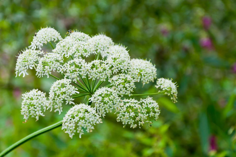 Giant hogweed should be removed from gardens. (Getty Images)