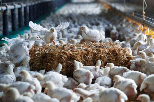 Chickens are seen at a poultry farm. (Photo: Stephane Mahe via Reuters)
