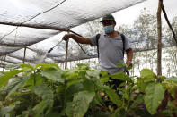 A man sprays seedlings as part of the Planting Life, a jobs and reforestation program promoted by Mexican President Andres Manuel Lopez Obrador, in Kopoma, Yucatan state, Mexico, Thursday, April 22, 2021. President Lopez Obrador is making a strong push for his oft-questioned tree-planting program, trying to get the United States to help fund expansion of the program into Central America as a way to stem migration. (AP Photo/Martin Zetina)