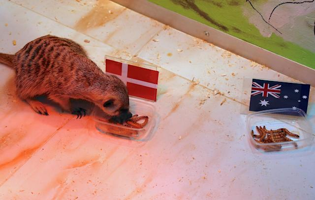 A meerkat named 'Timon' eats from a container labelled with the national flag of Denmark during an event at a zoo in the Russian city of Samara, June 19, 2018, ahead of the Group C match between Denmark and Australia. REUTERS/David Gray