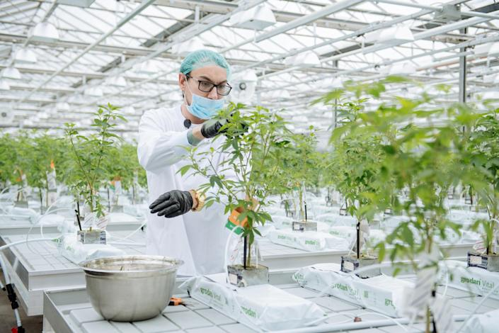 <p>A grow technician manicures a plant in the propagation and mothering room at the CannTrust Holdings Inc. cannabis production facility in Fenwick, Ontario, Canada, on Monday, Oct. 15, 2018. (Photo: Galit Rodan/Bloomberg via Getty Images) </p>