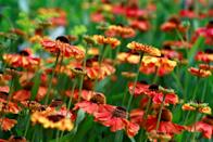 """<p>A member of the daisy family, these <a href=""""https://wimastergardener.org/article/helenium-helenium-autumnale/"""" rel=""""nofollow noopener"""" target=""""_blank"""" data-ylk=""""slk:fiery buds"""" class=""""link rapid-noclick-resp"""">fiery buds</a> fit seamlessly within rain gardens and thrive in moist soil. Helenium earned the nickname """"sneezeweed"""" from Native Americans, who would use the plants to make snuff.<br></p><p><strong>When it blooms: </strong>Late summer to first frost</p><p><strong>Where to plant:</strong> Full sun to partial shade</p><p><strong>When to plant:</strong> Early spring (in the ground); spring to fall (in containers) </p><p><strong>USDA Hardiness Zones:</strong> 3 to 8</p>"""