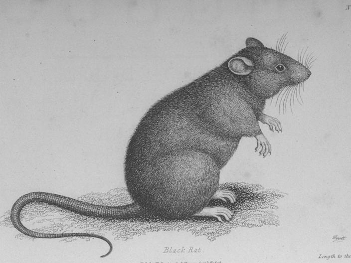A black rat, early 19th century engraving.