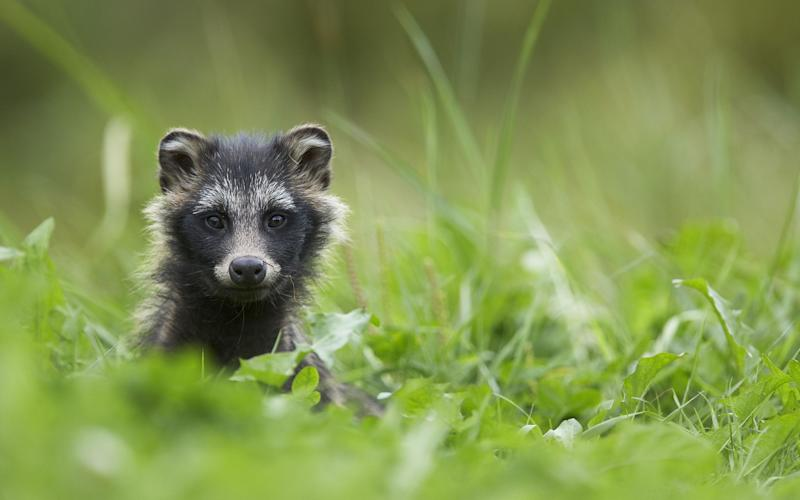 An adult Raccoon Dog (Nyctereutes procyonoides) pictured in Finland - Copyright (c) 2012 Rex Features. No use without permission.