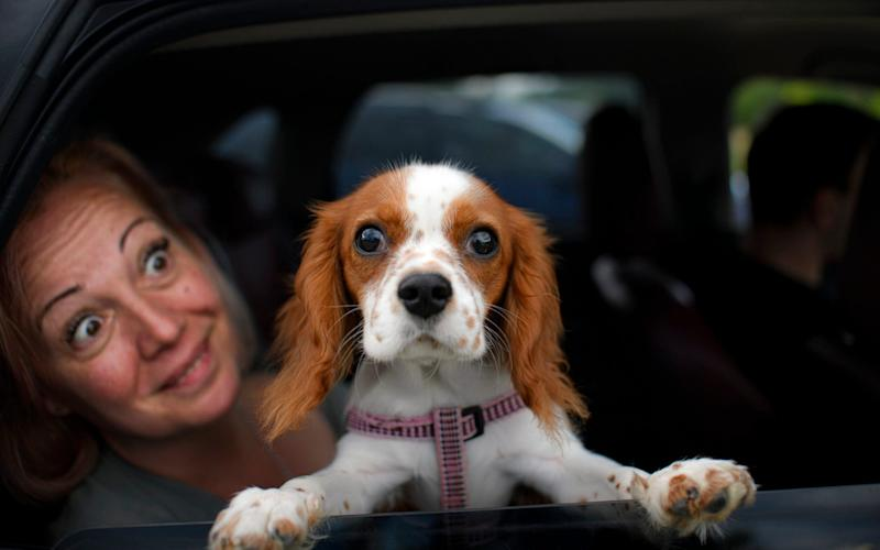 Buddy the dog peers from a vehicle before the start of a movie at a drive in cinema in Snagov, Romania - AP
