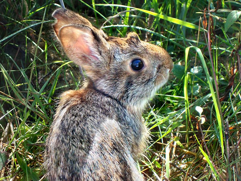 This undated photo provided by New Hampshire Fish and Game Department shows a New England cottontail rabbit. Wildlife officials say the New England cottontail could soon face extinction, due to diminishing shrublands across the Northeast. The only rabbit species indigenous to the region lost more than 80 percent of its habitat over the last 50 years. The U.S. Fish and Wildlife Service has partnered with state agencies and private organizations from Maine to New York to restore its natural habitat and save an animal that is a candidate for protection under the Endangered Species Act.(AP Photo/New Hampshire Fish and Game Department, Heidi Holman)