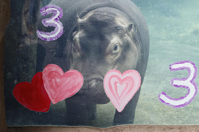 Fiona, a Nile Hippopotamus, swims after eating her specialty birthday cake to celebrate turning three-years old this Friday, in her enclosure at the Cincinnati Zoo & Botanical Garden, Thursday, Jan. 23, 2020, in Cincinnati. The Cincinnati Zoo is using the third birthday of its beloved premature hippo as a way to raise money for Australian wildlife affected by the recent bushfires. Instead of sending birthday gifts, the zoo is asking people to buy T-shirts that will directly benefit the Bushfire Emergency Wildlife Fund. (AP Photo/John Minchillo)