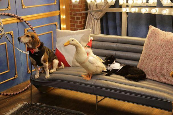 PHOTO: Buddy the Beagle along with two other pet nominees appear on 'Good Morning America' Pet of the Year Awards. (ABC News)