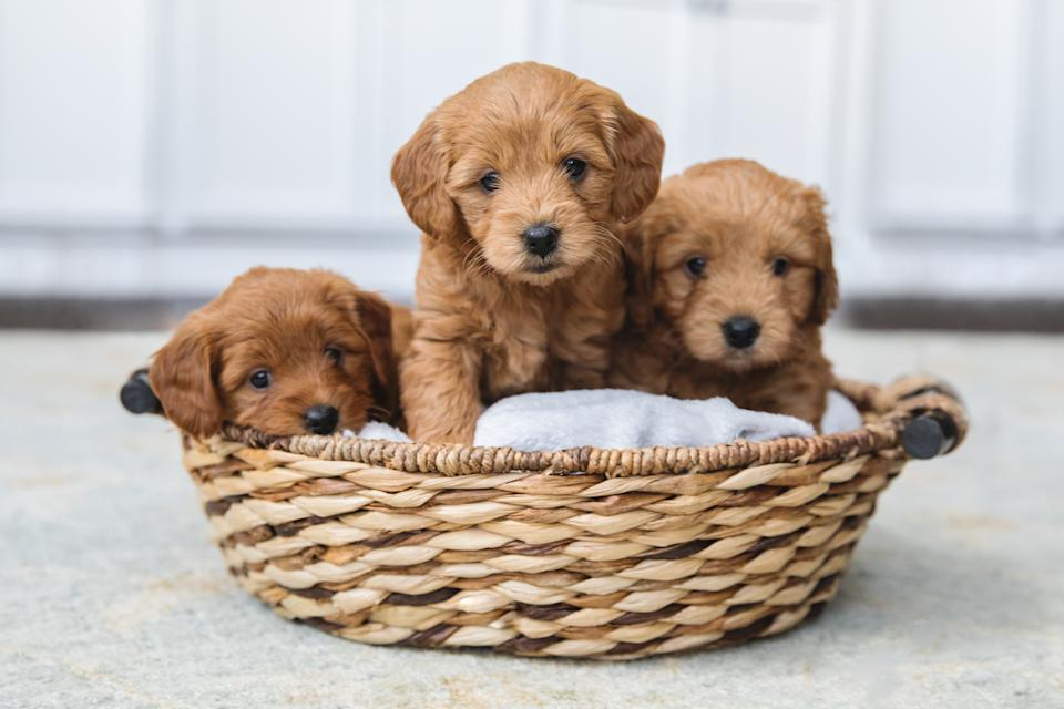 Adorable litter of Goldendoodle puppies in a basket