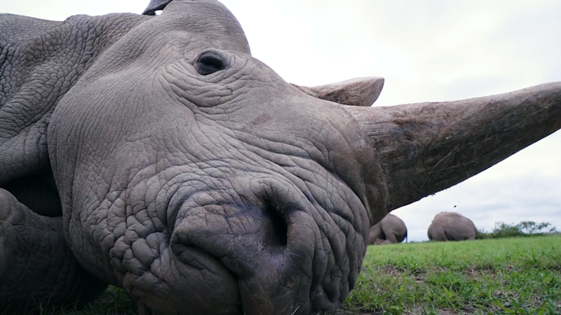 Najin lies down for a nap. She's one of the last living northern white rhinos on earth.