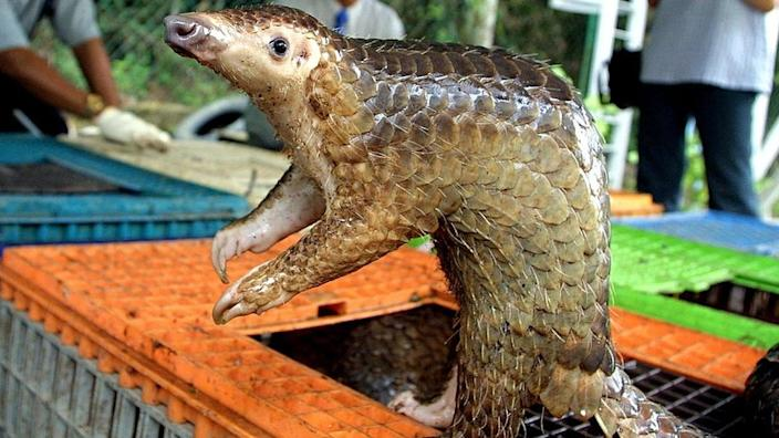 A trafficked pangolin in Kuala Lumpur: The animal is a suspect in the outbreak
