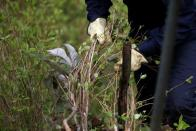 FILE PHOTO: Workers uproot coca plants during an eradication operation at a plantation in Tumaco