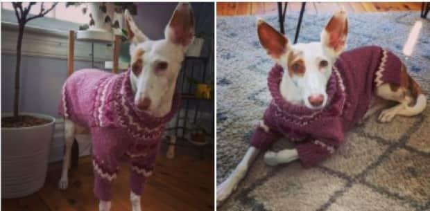 This podenco looks cosy in her new sweater, which Lewis called the Oh My Heart.