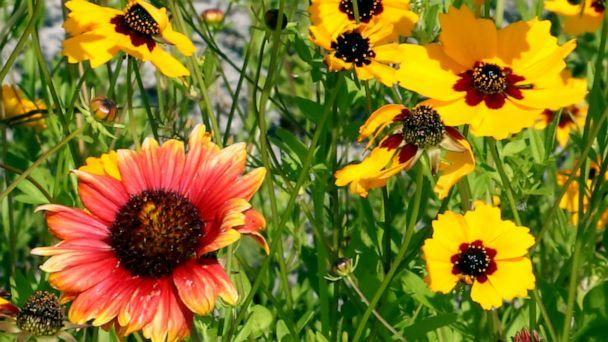 PHOTO: Two-thirds of the facility is pollinator-friendly and features a test garden to help environmental research. (ABC News)