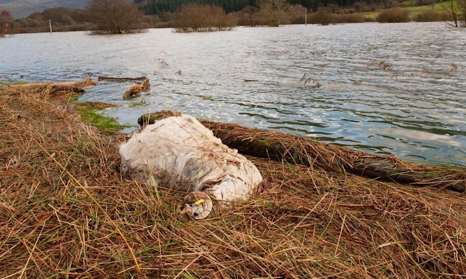 Dead sheep at the water's edge after severe flooding in West Cumbria.