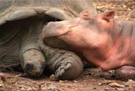 Owen and Mzee, a hippo and a tortoise, nap together in Kenya. These two even have their own book - Owen & Mzee: The True Story of a Remarkable Friendship. (Photo credit: Turtle Pond Publications / http://www.owenandmzee.com)