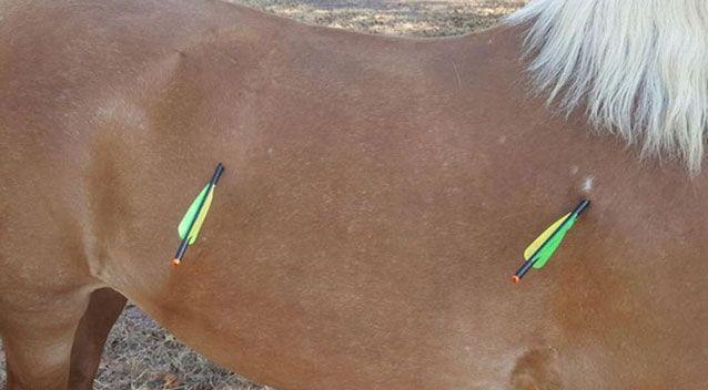 On Wednesday afternoon, 20-year-old Pearly was found by her owner with two arrows embedded in her flank. Photo: Facebook