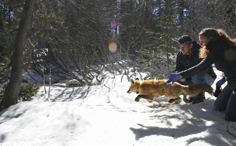 California scientists catch 2 elusive sierra nevada red fox for Sacbee fishing report
