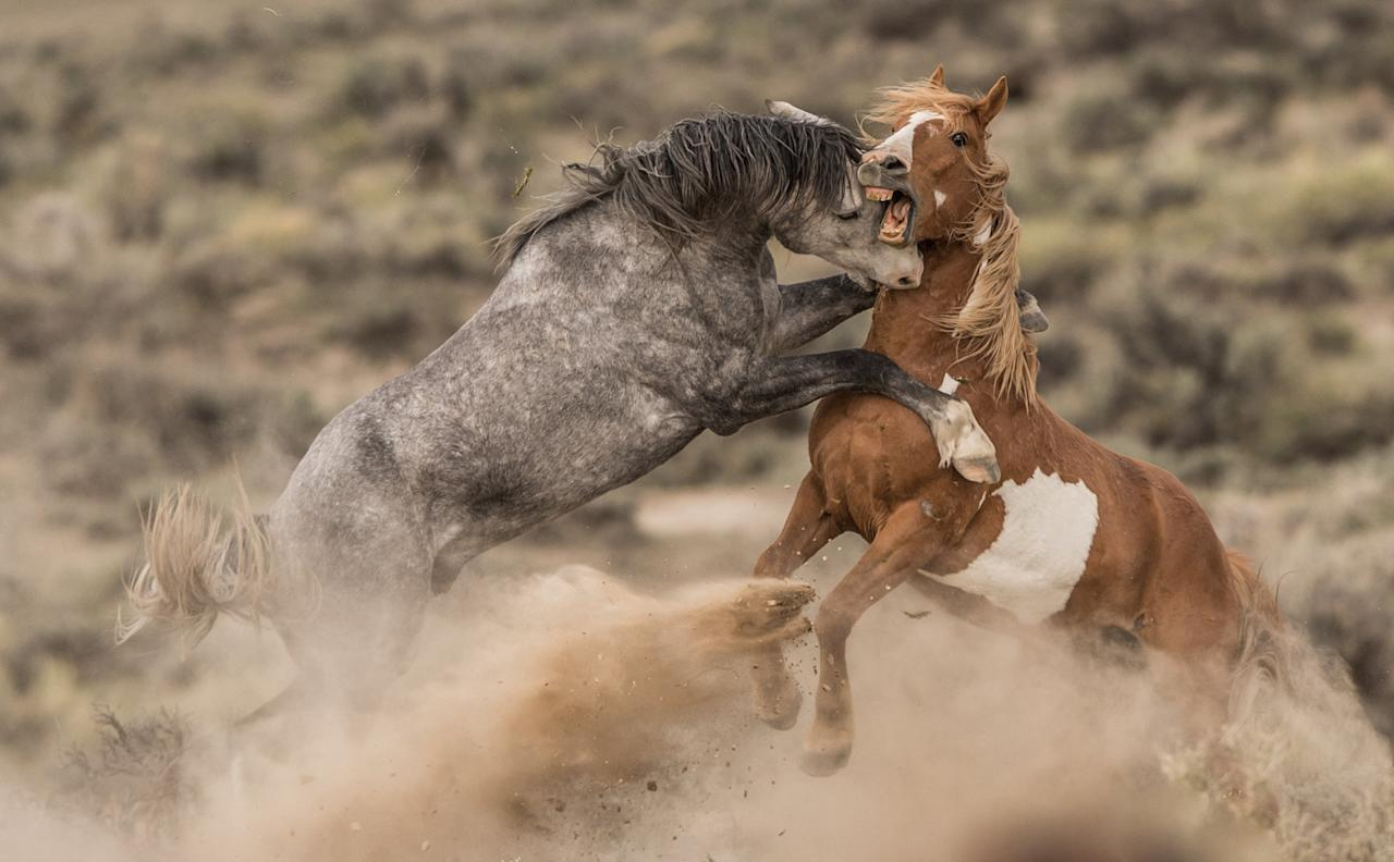 <p>Denver photographer and cancer sufferer Scott Wilson was told to avoid sunlight to help battle his condition – but he got this incredible shot from the confines of his car instead. He captured two mustangs fighting in this incredible image. (Scott Wilson/SWNS) </p>