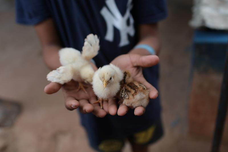 Baseball little league player Adrian Salcedo, 13, holds chicks at his sister's house in Maracaibo, Venezuela. (Photo: Manaure Quintero/Reuters)