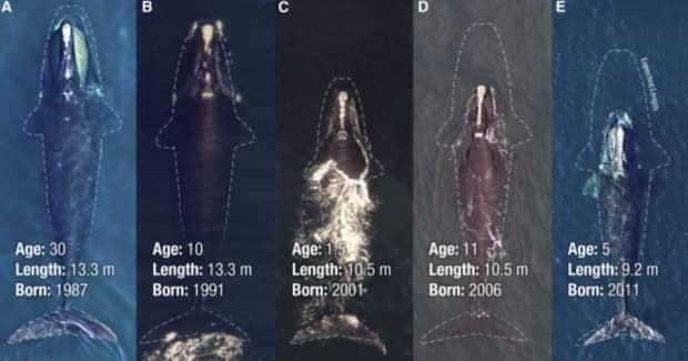 A recent study shows a significant reduction of the length of the average North Atlantic right whales. (Submitted by Joshua Stewart - image credit)