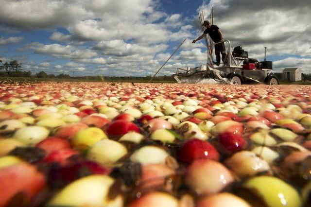 FILE PHOTO: Nick Johnson harvests cranberries in a bog at Gilmore Cranberry Company in Carver