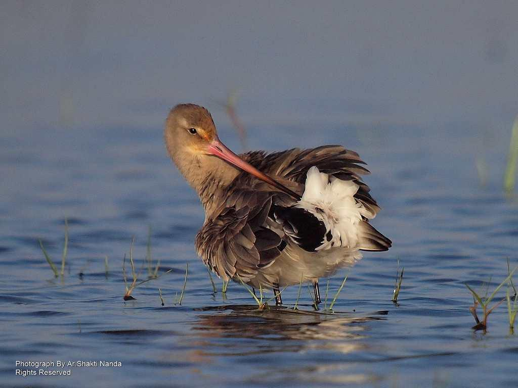 The <strong>Black-tailed Godwit</strong> (<em>Limosa limosa</em>) is a long-billed shorebird that breeds as far north as Iceland. In winter, it migrates to the Indian subcontinent, Australia and western Africa.