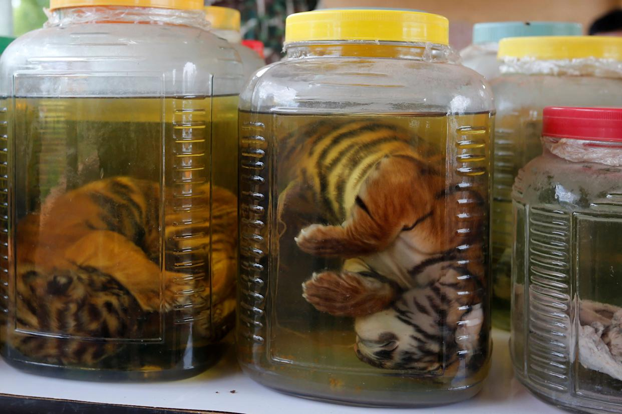 Tiger cub carcasses are seen in jars containing liquid as officials continue moving live tigers from the controversial Tiger Temple, in Kanchanaburi Province, in June 2016. (Photo: Chaiwat Subprasom / Reuters)