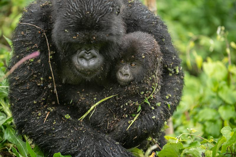 A mountain gorilla infant with its mother in RwandaDRB