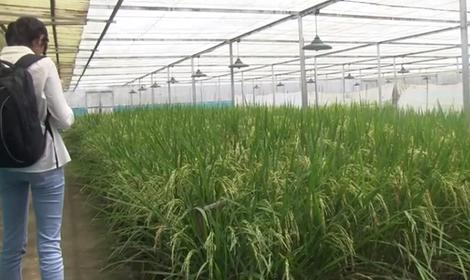 Genetically modified golden rice opponent are not wicked
