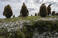 The islands' rich biodiversity includes five species of penguins (King penguin chicks pictured) and more than 25 species of whales and dolphins
