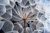 <p>An extreme close up of a dandelion.</p>