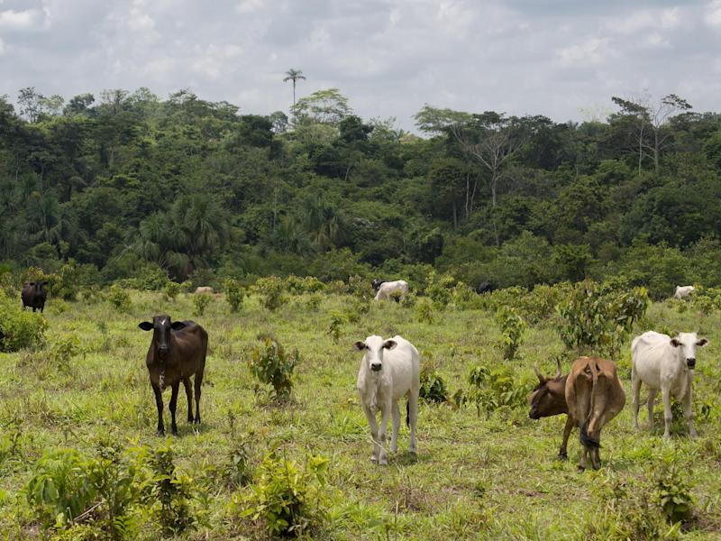 In 2017 Brazilian company JBS was fined $8 million for buying cattle from farms that were on illegally deforested land (file photo): Getty Images/iStockphoto