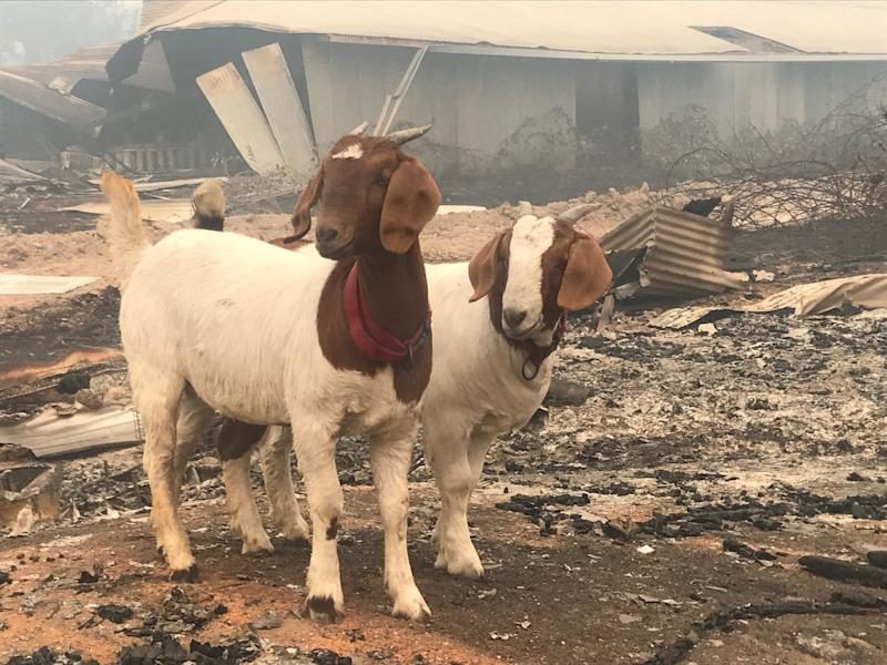 Goats survey the remnants of Pearson's farm after the fire.