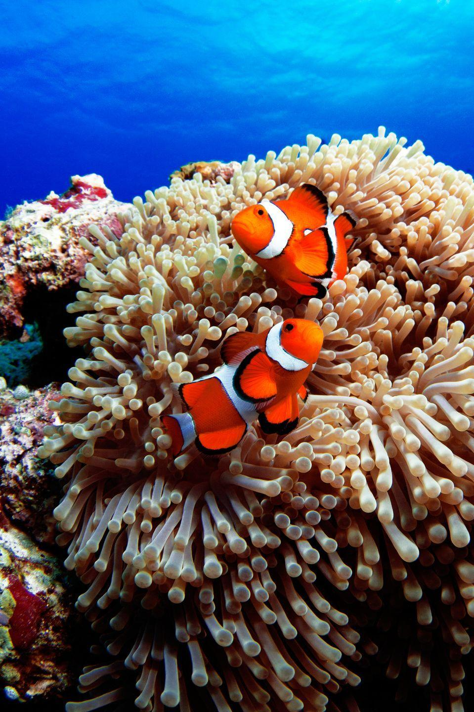 <p>Clownfish experience what it's like to be each gender during their lifetimes. They're all born male, but some <em>turn into</em> females (a process known as sequential hermaphroditism). Both are born with both male and female parts, and some males make the transition if alpha females die.</p>
