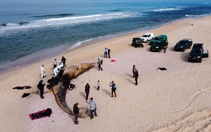 Scientists examine the body of a dead fin whale that washed up in Nitzanim with black liquid in its lungs - Amir Levy/Getty Images Europe